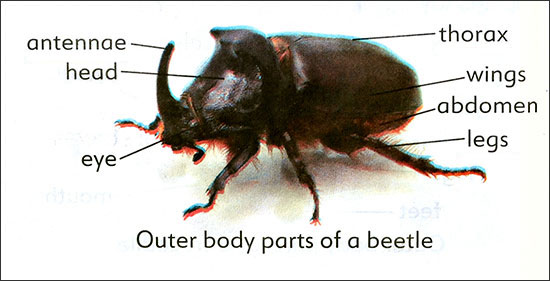 Errors in the identification of external body parts of rhinoceros beetle